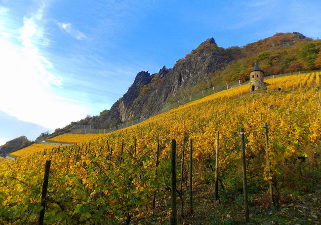 on drachenfels Beauty In Nature Blue Cloud Day Field Grass Growth Hill Idyllic Landscape Mountain Mountain Range Nature Non-urban Scene On Drachenfels Outdoors Plant Remote Rural Scene Scenics Sky Tranquil Scene Tranquility Vineyards  Yellow