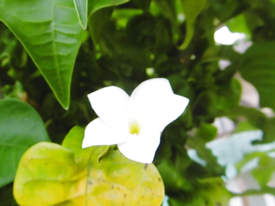 Flower Leaf Growth Beauty In Nature Petal Fragility Plant Tree Green Color Springtime White Color Flower Head Nature Growth Day Outdoors ลั่นทม Rave Frangipani จำปา Frangipani Flower ลั่นทม