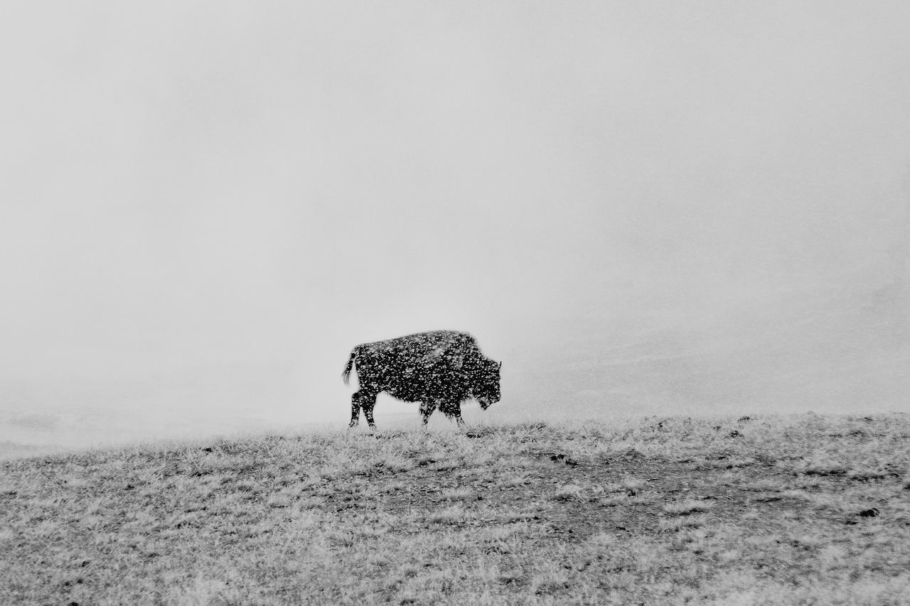 Animal Themes Animal Wildlife Animals In The Wild Bison Black And White Extreme Weather Grayscale Landscape Nature One Animal Snow Yellowstone National Park
