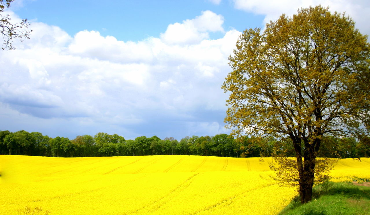Canonphotography Yellow Nature Beauty In Nature Growth Sky No People Landscape Day Cloud - Sky Dreamer's Vision Warmia And Mazury Warmia Polska Poland Art Photography Background Backgrounds Landscapes Art Full Frame Artistic Agriculture Outdoors My View