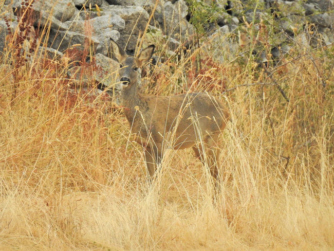 Corzo female in nature. Corzo hembra en plena naturaleza Capreolus Corzo Nature Roe Deer Roebuck Wildlife Wildlife & Nature Wildlife Photography