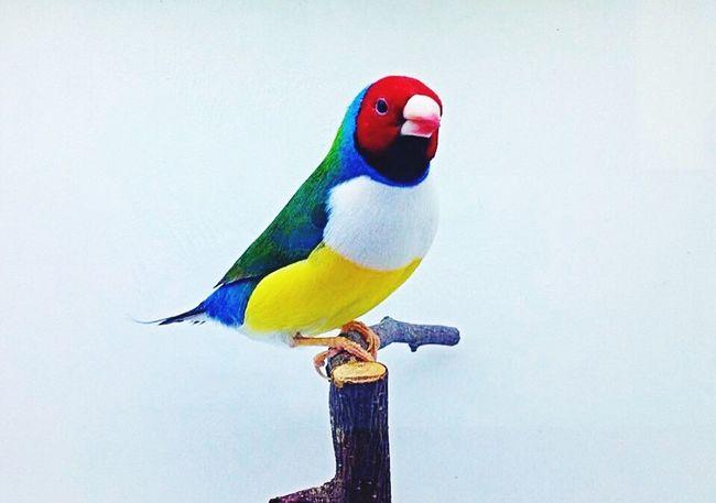 Diamantedigould Uccellino Colors