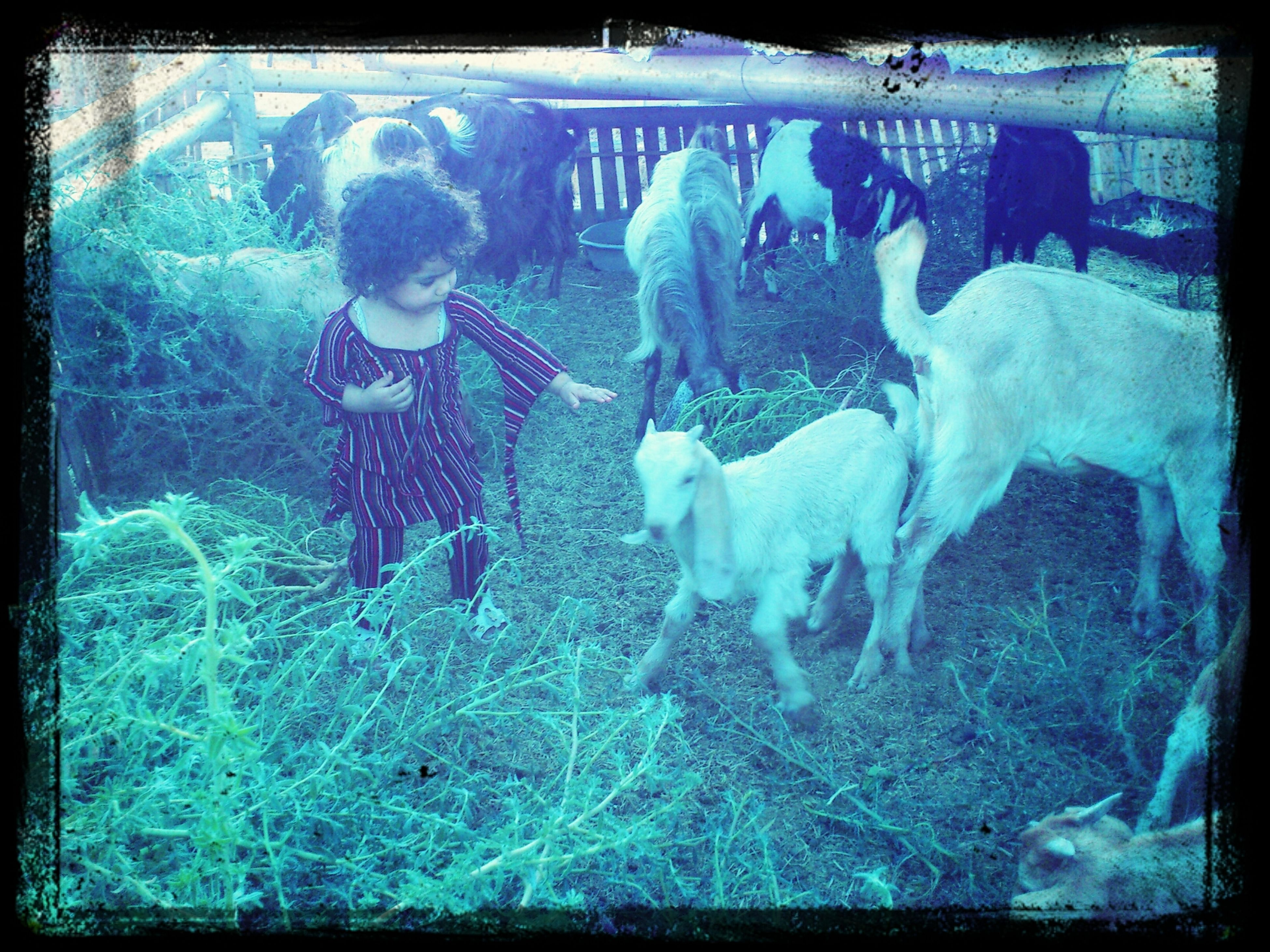 transfer print, animal themes, domestic animals, mammal, auto post production filter, livestock, togetherness, field, cow, pets, grass, two animals, dog, standing, young animal, men, domestic cattle, nature