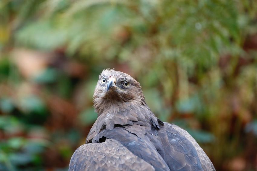 EyeEm Selects Schreiadler, lesser spotted eagle Bird Animals In The Wild One Animal Animal Themes Bird Of Prey Animal Wildlife Nature Focus On Foreground Day Outdoors Perching Beak Close-up No People Schreiadler Schreiadler Lesser Spotted Eagle Lesser-spotted Eagle The Week On EyeEm