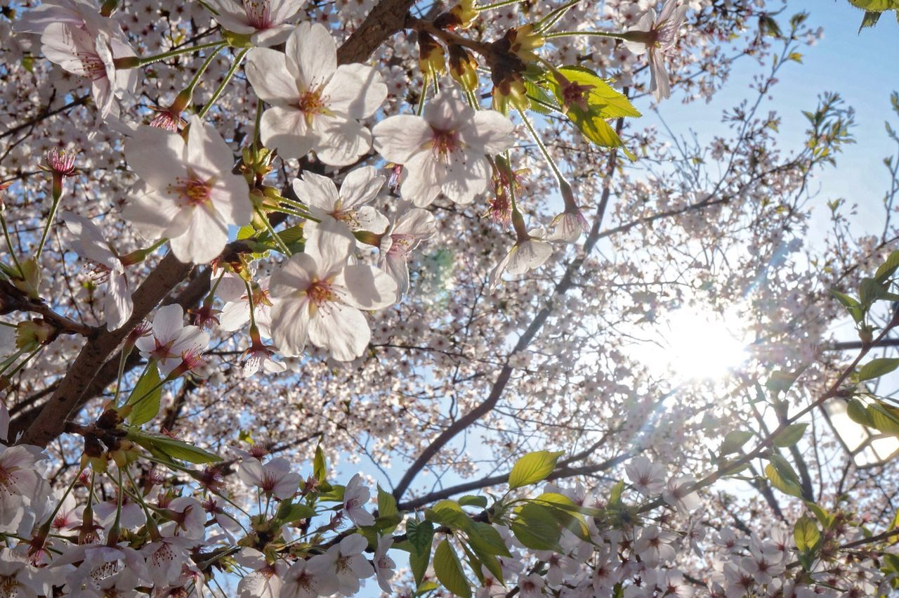 Beautiful stock photos of cherry, Beauty In Nature, Blooming, Branch, Bright