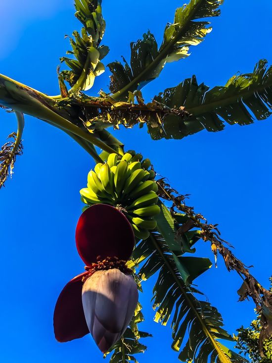 Fruit Palm Tree Tree Low Angle View Healthy Eating Blue Leaf Growth Banana Tree Food Day Sky Agriculture Outdoors Lifestyles Nature No People Banana Beauty In Nature Freshness