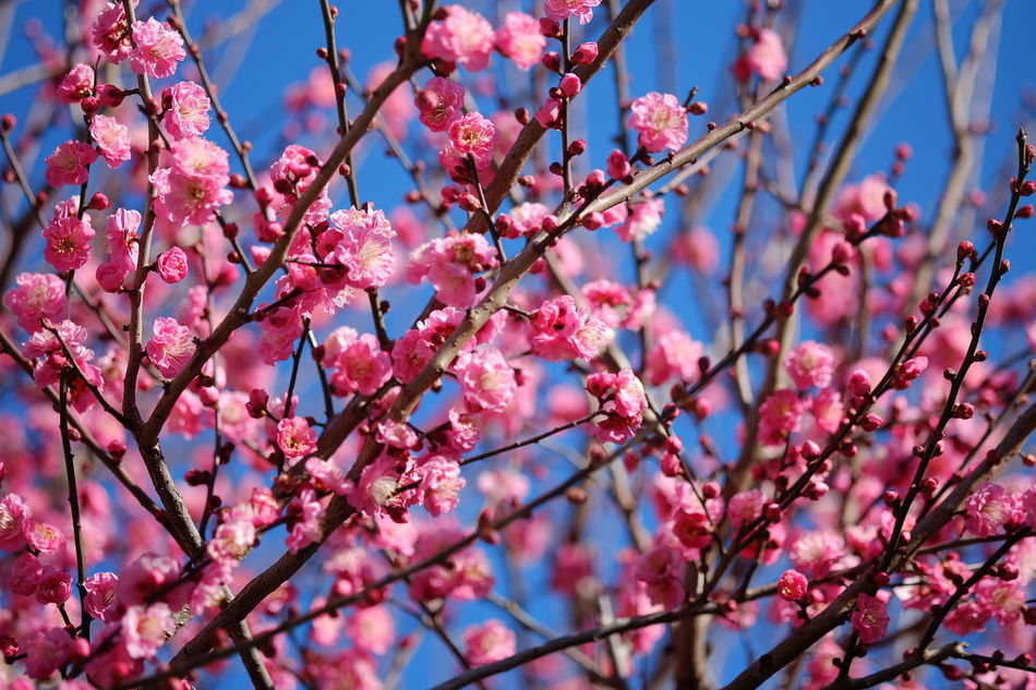 Beautiful stock photos of tokyo, Abundance, Beauty In Nature, Blooming, Branch