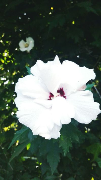 Flower Fragility Flower Head Petal Freshness White Color Close-up Beauty In Nature Nature Growth Single Flower In Bloom Selective Focus Springtime Blossom Plant Botany Hibiscus Day Softness
