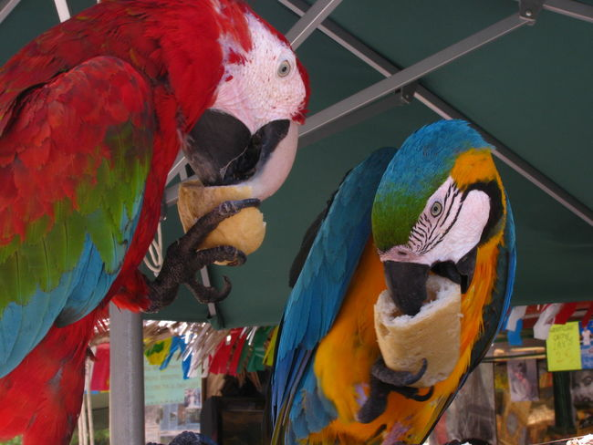 Animals Ara Ara Macao Bird Birds Bread Colorful Eating Feathers Multi Colored Parrot Parrots