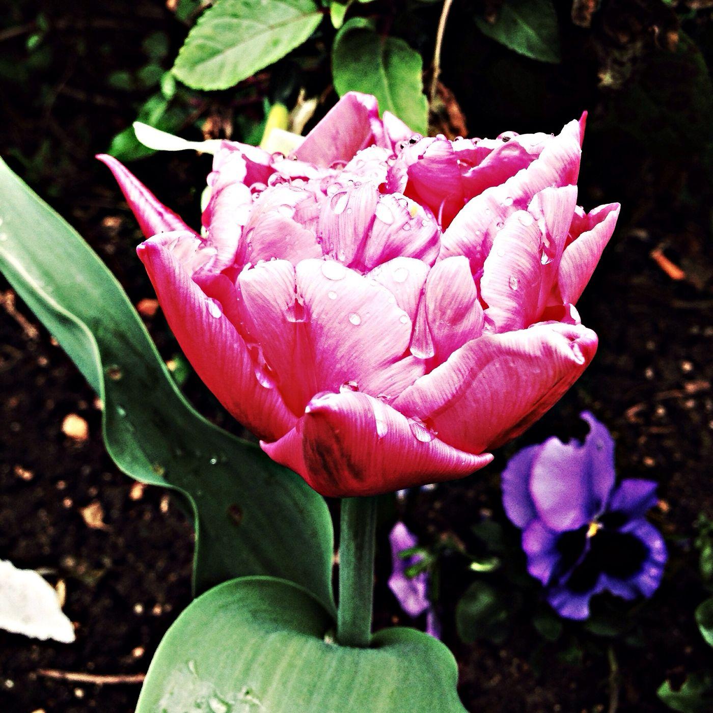 Les fleurs sous la pluie. iPhone + hipstamatic avec légère correction. 25 avril 2014 Flowers Pink IPhone
