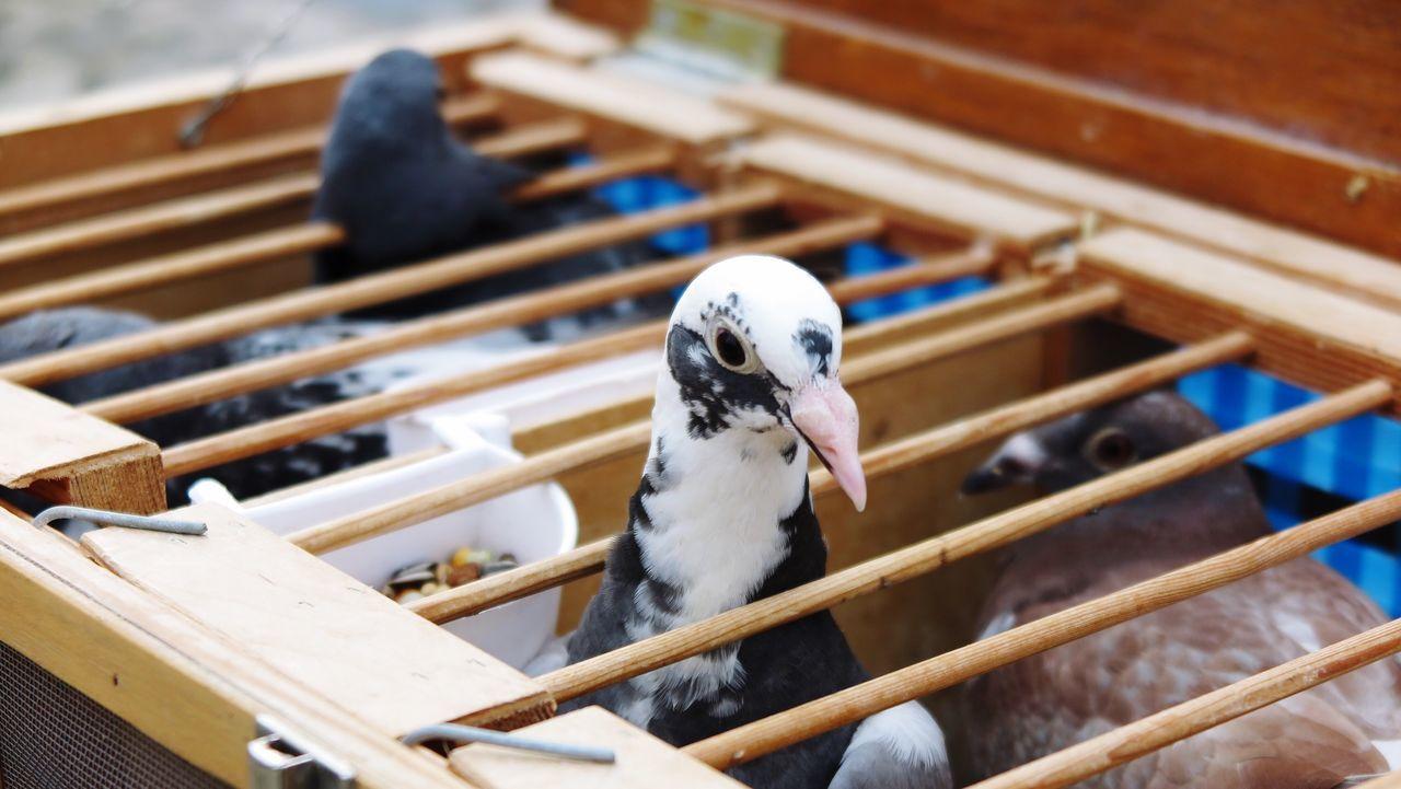 Duivenmelken Duivenmelker Pigeons Pigeon Racing Racing Pigeons