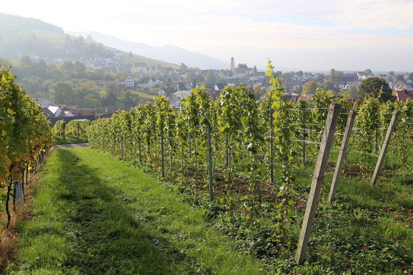 Vineyards near Baden-Baden with village of Varnhalt in the background Baden-Baden Varnhalt Vineyard Vineyards