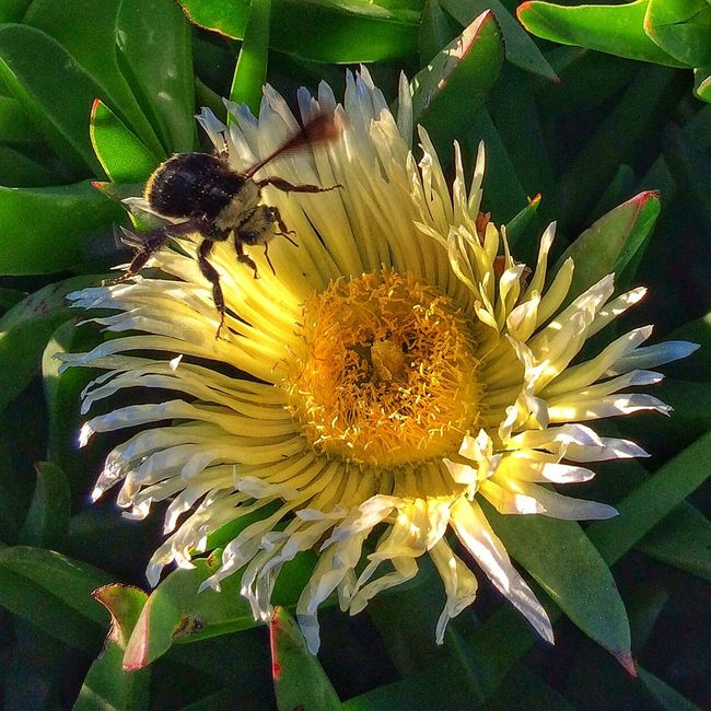 A bumblebee landing on an ice plant flower. Macro Flower Bee Olloclip