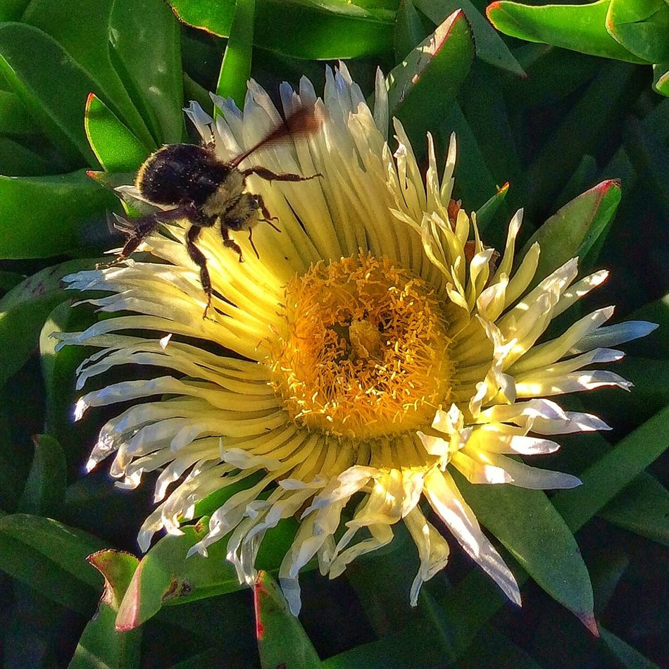 A bumblebee landing on an ice plant flower. Macro Flower Bee Olloclip