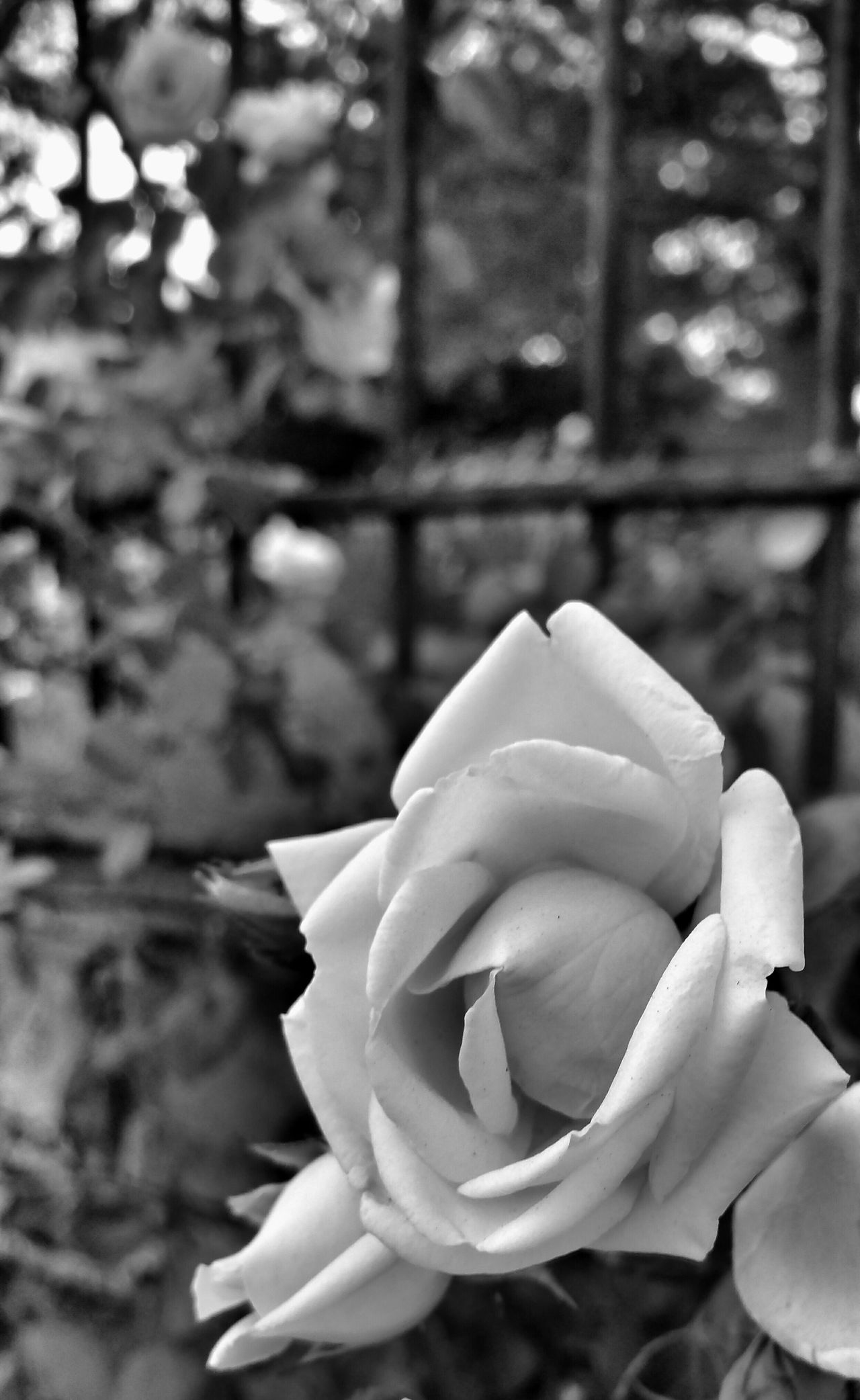 Taking Pics In The Rain Black And White Photography Relaxing Locked Out... Walking Around Taking Photos Flower Close Up My Perspective At The Gate