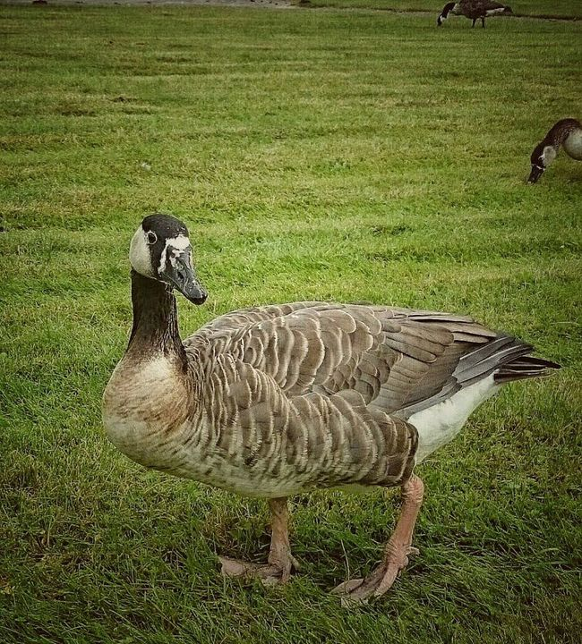 Goose Not Alone Free Outdoorlife EyeEm Nature Lover Eyeemphotography Animal Animal Photography Animals In The Wild Summer2016