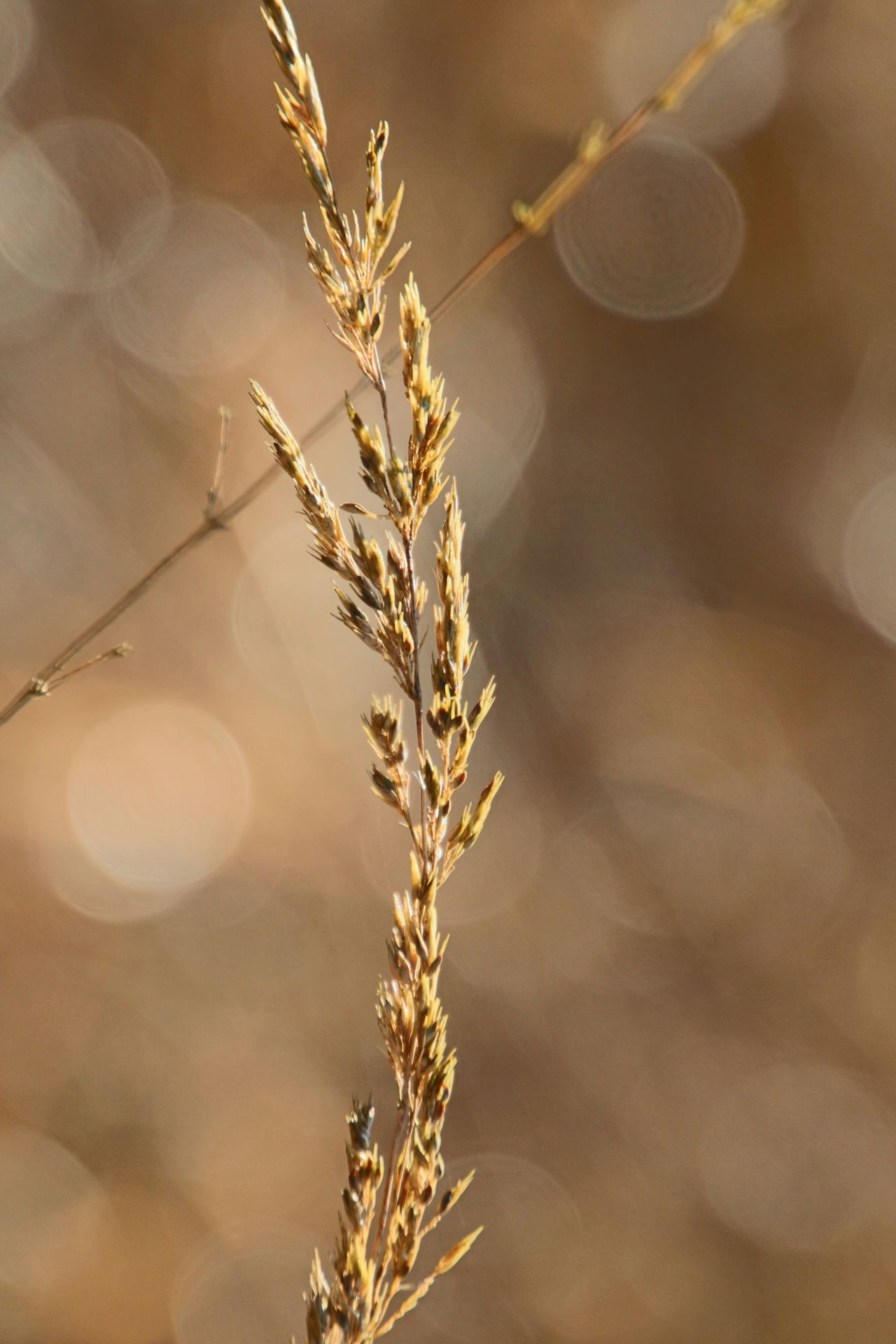 Gold Colored Cereal Plant Beauty In Nature Plant Part Nature Grass Close-up EyeEm Best Shots - Nature Outdoor Photography No People Outdoors Beautiful View From My Point Of View AMTPt_community OpenEdit Beauty In Nature Walking Around Taking Pictures World Of Color Backgrounds No People Outdoors Hello World Fascination Nature Garden Photography Ey4photography Focus On Foreground