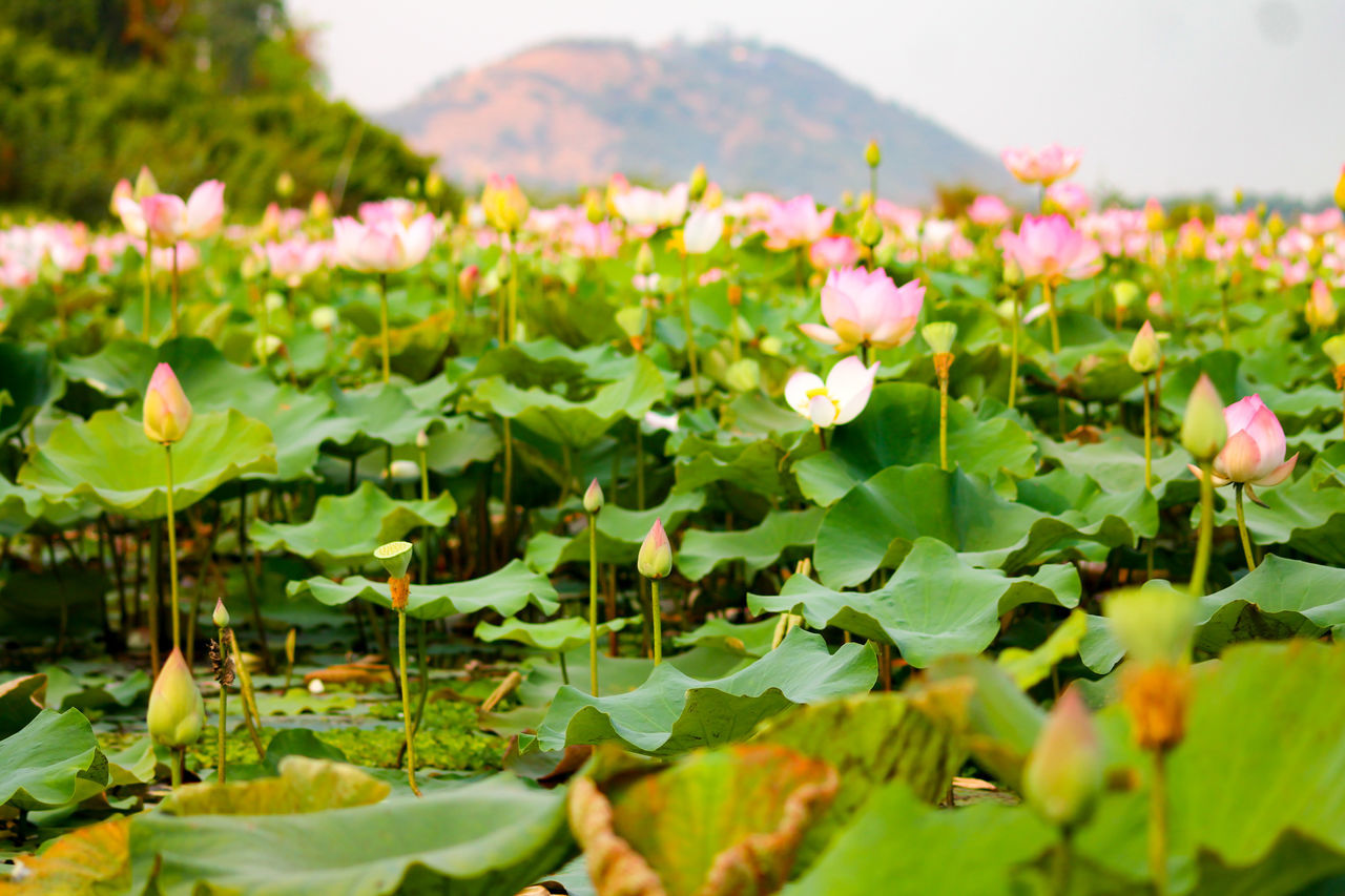 Lotus Flowers Lotus Fields Mountain View Agriculture Flower Close-up Flower Head No People Freshness Landscape Green Color Beauty In Nature Water Growth Nature Scenics Plant Leaf Silence Calm Relaxing Peaceful