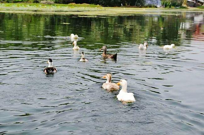 Srinagar Kashmir Bird Animal Themes Animals In The Wild Lake Water Wildlife Swimming Duck Lakeshore Floating On Water Nature Togetherness Tranquility Floating In Water Water Bird Zoology No People Avian Non-urban Scene Beauty In Nature