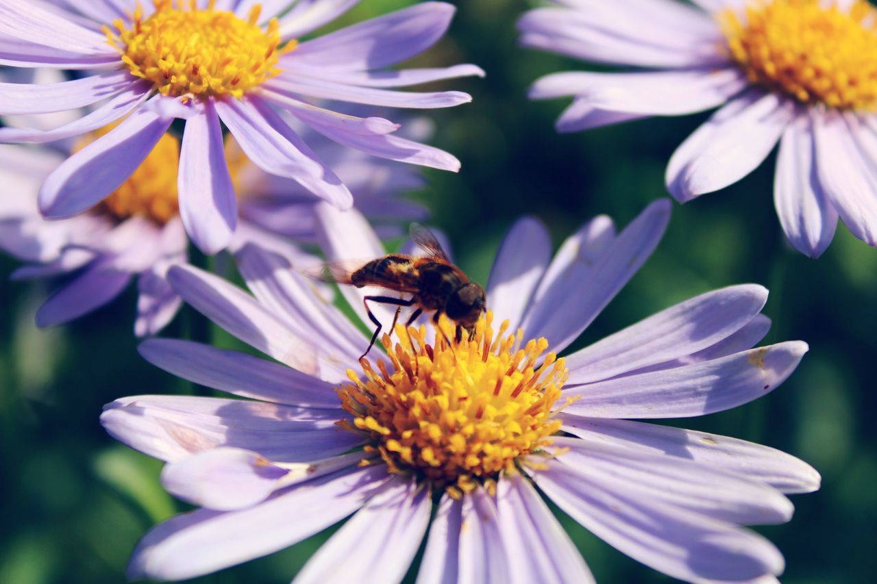 Bee On Aster Flower In Park