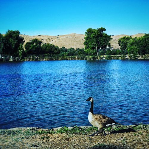 The Great Outdoors - 2017 EyeEm Awards Animals In The Wild Animal Themes Bird Backdrop Serene Outdoor Lake Water Nature Day Tree Animal Wildlife Outdoors Blue No People Beauty In Nature Clear Sky Sky Swan
