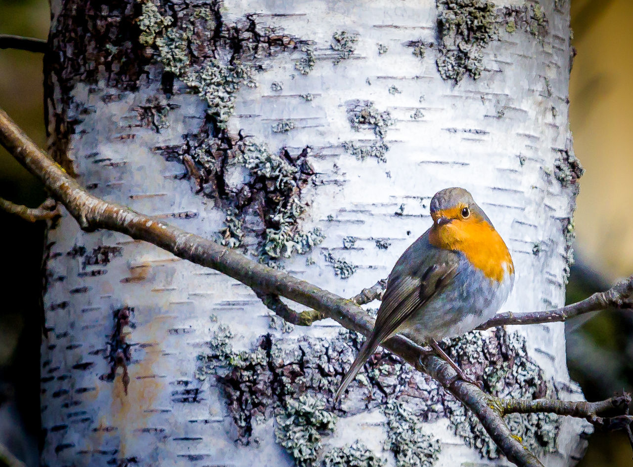 Avian Beauty In Nature Bird Branch Close-up Day Erithacus Rubecula Focus On Foreground Nature No People Outdoors Perching Robin Rödhake Selective Focus Tree Tree Trunk Wildlife