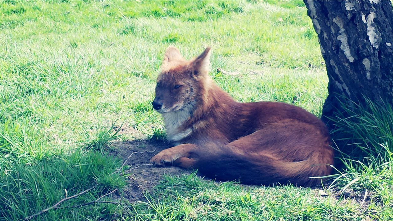 Close-Up Of Fox Sitting In Grassy Field By Tree