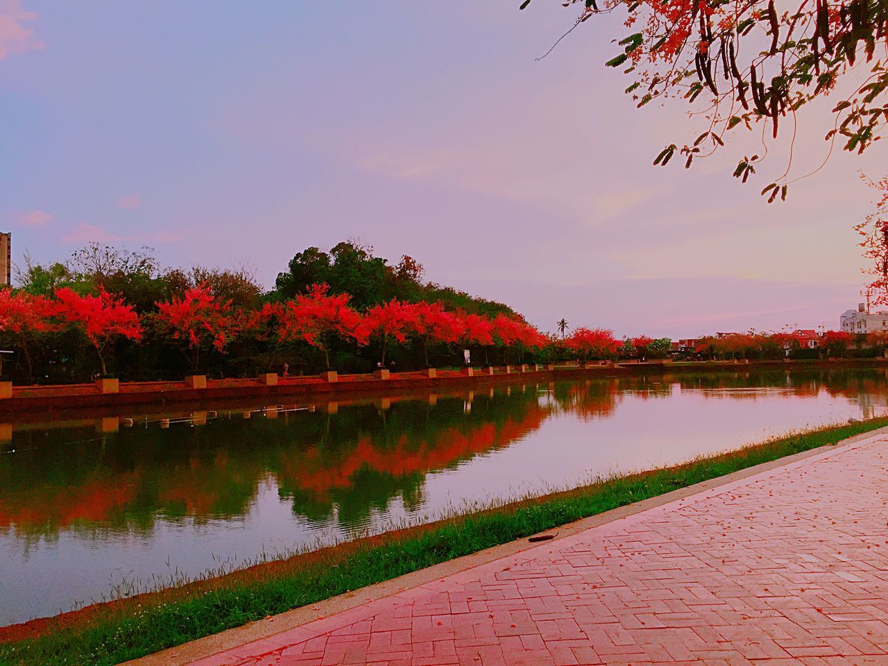 Sagura Thailand : ซากุระ เมืองไทย Reflection Water Tree Nature Beauty In Nature Scenics Sky Flower Waterfront Growth Tranquil Scene Tranquility Outdoors Lake Idyllic Sunset No People Day Thailand