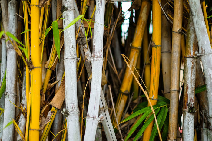 Yellow & white bamboo with green leaf forest in Japan - nature concept. Beautiful Green Japan Japanese  Nature Nature Photography Background Bamboo Bamboo - Plant Bamboo Grove Close-up Concept Forset Growth Leaf Leaves Texture Tree White Yellow