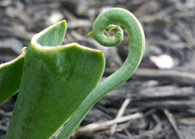 Curl of growth. Curl Plant Plants Plants And Flowers April 2016 April Showcase Curling Green Spring Springtime Spring 2016 Tulip Macro