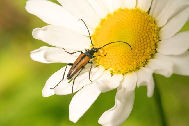 Lepturinae Macro Insects EyeEm Nature Lover Sonya77ii Eyem Best Shots Nature_collection