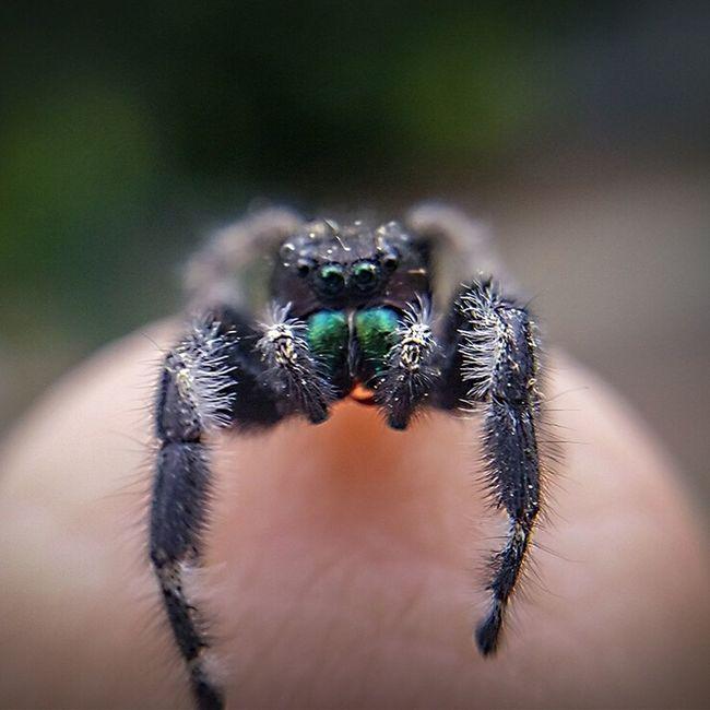 Jumping Spider Spider Cute Spider Spider On Finger Spider Closeup Spider Macro Day Nature Spider