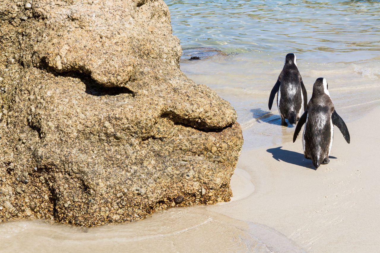 Two penguins wandering into the sea African Penguin Animal Themes Animal Wildlife Animals In The Wild Beach Bird Boulder Beach Day Horizontal Jackass Penguin Nature No People Outdoors Penguin Sand Sea Sea Life South Africa Sunlight Two Penguins Waddling Walking Around Water Wildlife Zoology