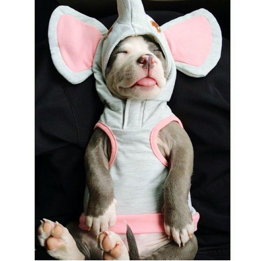 Babypitbull Bluenose Pit Happybaby