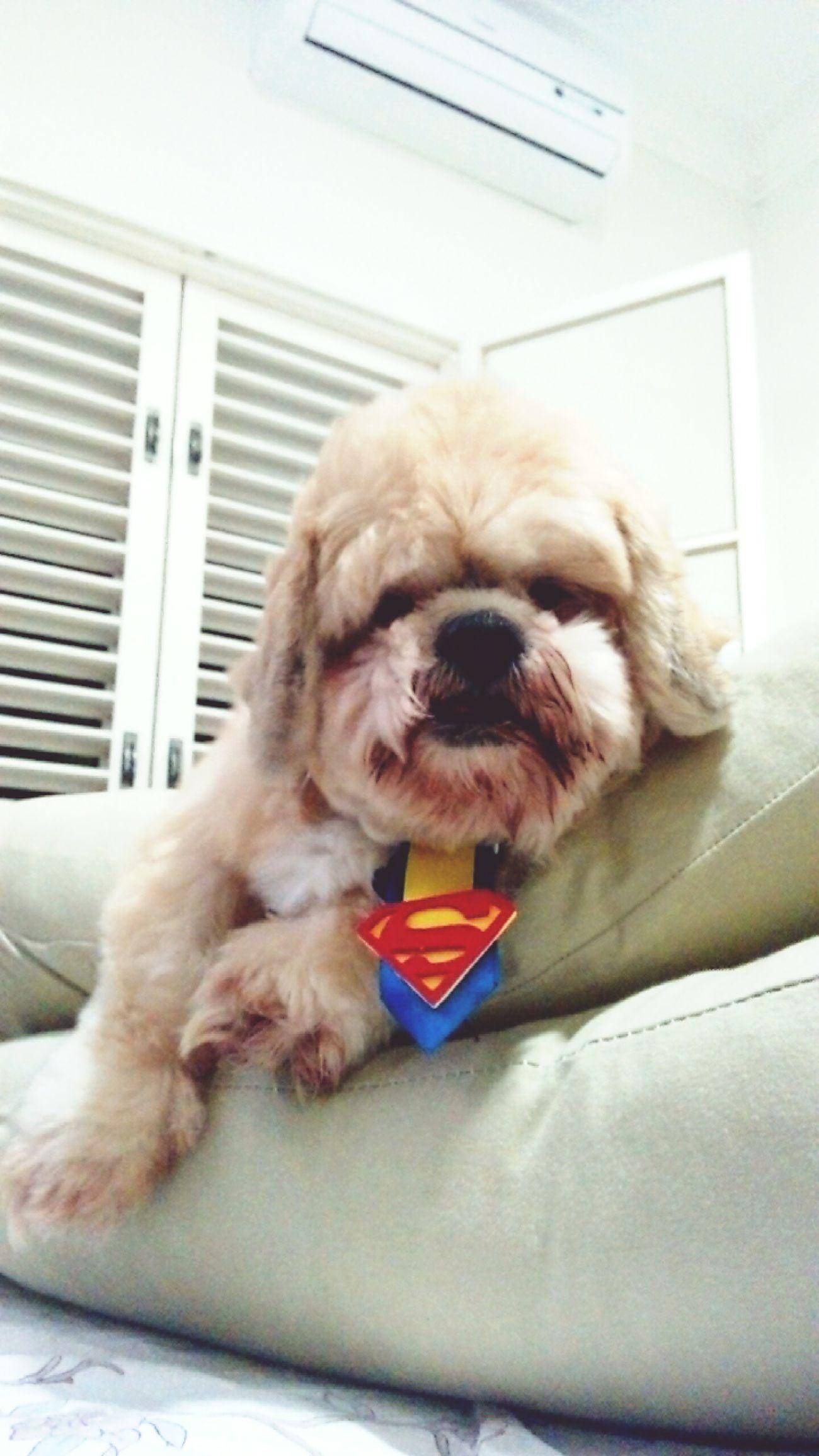 My superhero! Superman ♡ Superdog Superhero Superstar Super Cute Dog  Cute♡ Pets Are Family Pet Photography  Dogslife Dog❤ My Angel ❤ MINE ! ♥
