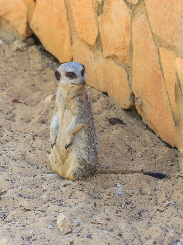 meerkat standing afternoon on the sand under the sun Afternoon Animal Themes Bun Collateral Desert Hill Isolated Looking Mammal Meerkat Motionless Mountain Mountains No People One Animal Outdoors Park Peck Relaxing Sand Squirrel Standing Sun Zoo Zoology
