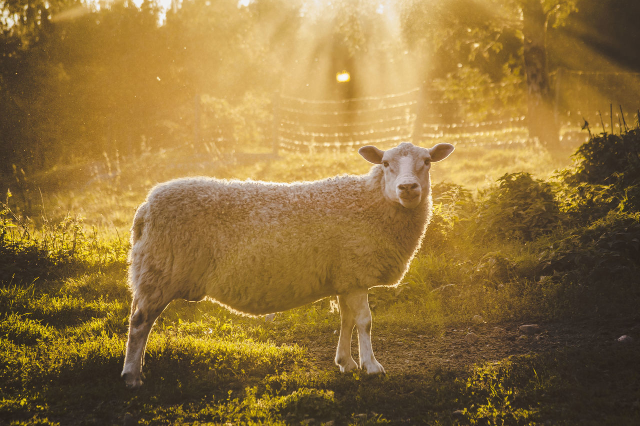 Alertness Animal Animal Themes Curiosity Domestic Animals Field Grass Grazing Herbivorous Light Livestock Mammal One Animal Pasture Relaxation Relaxing Sheep Standing Two Animals Wool Zoology