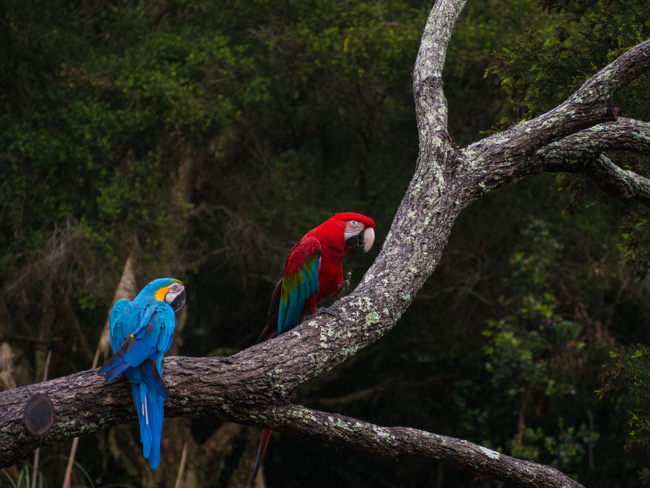 Two colourful Macaw birds sitting on a branch Animals Beautiful Animals  Birds Birds_collection Colourful Macaw Macaws Wildlife Wildlife & Nature
