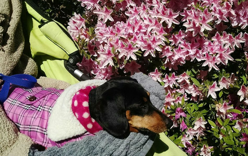 Dog❤ Doxie Love Enjoying Life Napping In Her Buggy On The Way Home Early Morning ............♥