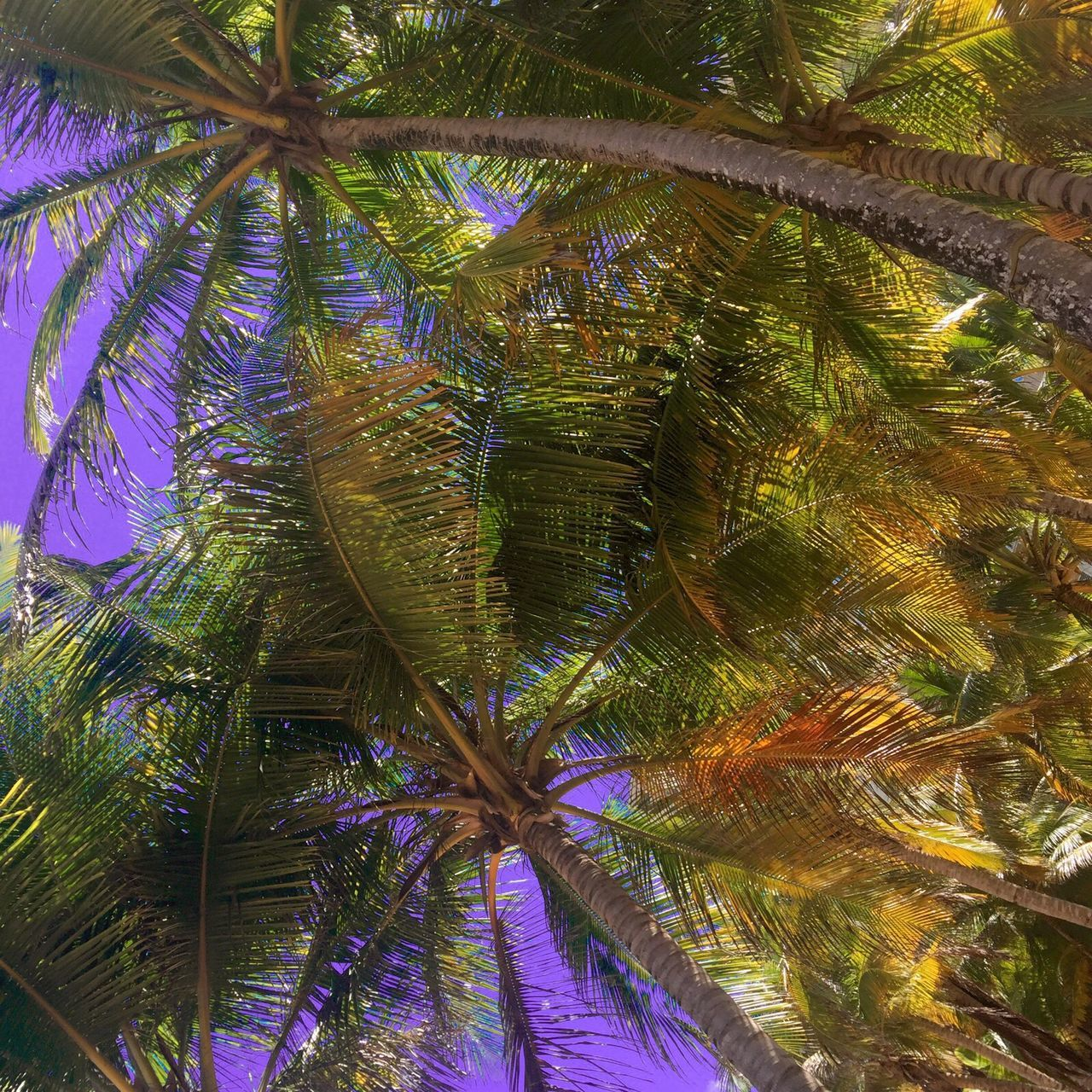 Palm Trees Lookingup Sunny Day Peurta Rico Beach Vacation
