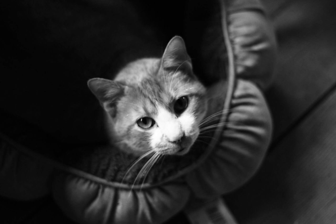 domestic cat, pets, domestic animals, one animal, animal themes, mammal, feline, whisker, indoors, sitting, looking at camera, one person, young animal, portrait, kitten, close-up, day, people