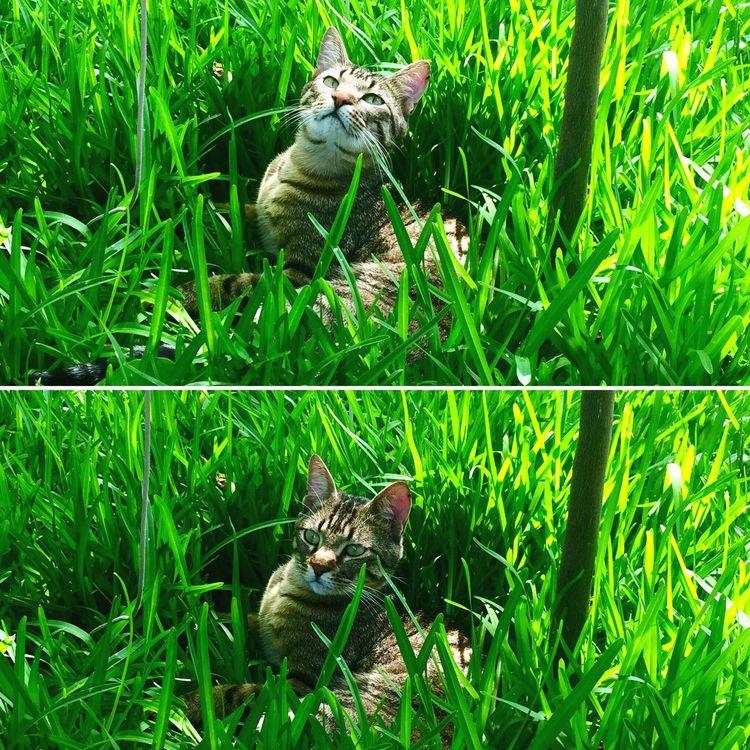 Cat in grass🌱 Cat Gatto Gattotigrato Pet Photography  Garden Nature Green Color