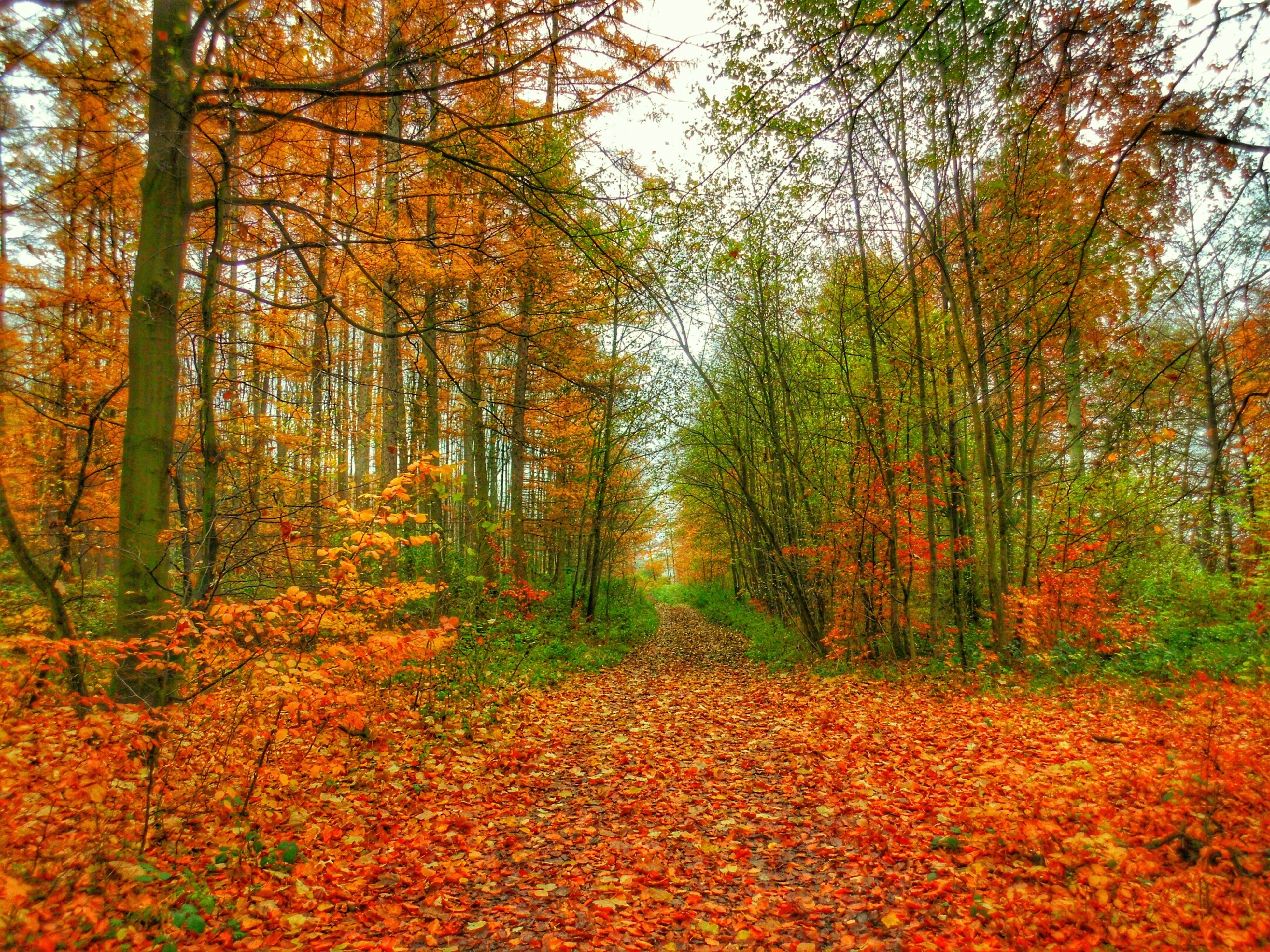 tree, autumn, change, season, tranquility, orange color, growth, beauty in nature, forest, nature, tranquil scene, scenics, leaf, lush foliage, non-urban scene, woodland, day, outdoors, idyllic, no people