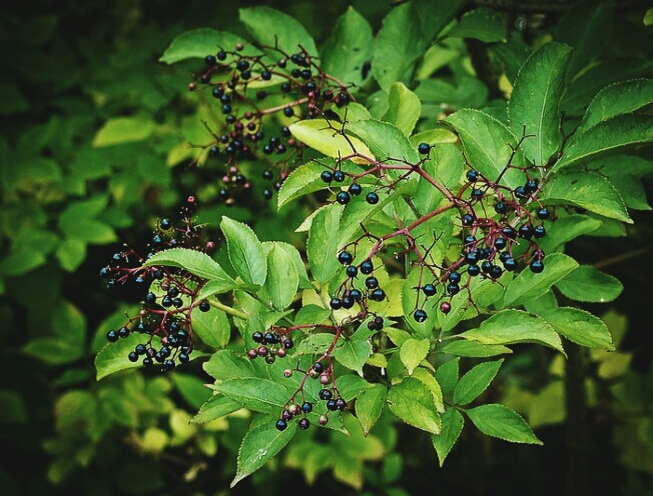 Autumn berries Nature Leaf Growth Green Color Plant Outdoors Fruit Close-up Beauty In Nature No People Day Animal Themes Freshness Horizontal Berries Fall Autumn Ireland Northern Ireland