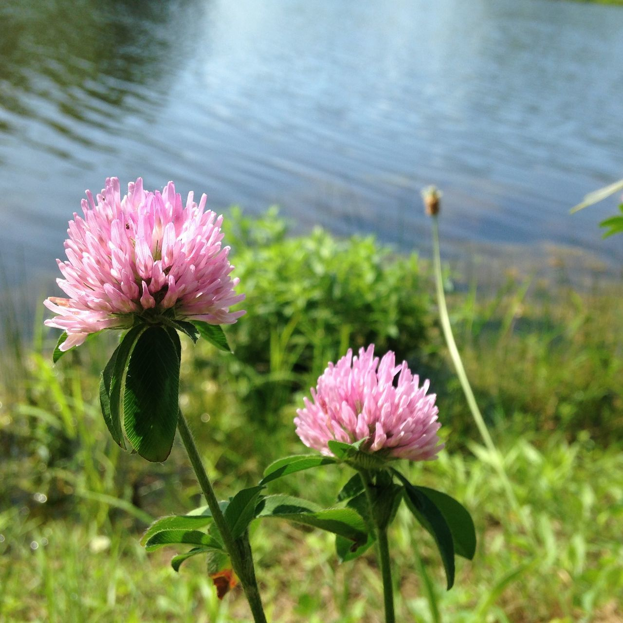 flower, nature, beauty in nature, fragility, petal, growth, pink color, flower head, blooming, plant, no people, freshness, day, outdoors, focus on foreground, close-up, water, purple, green color, lake, thistle, eastern purple coneflower, crocus