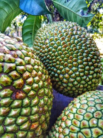 Jackfruit's.. Growth Nature No People Green Color Day Fruit Plant Beauty In Nature Outdoors Freshness Healthy Eating Close-up Food