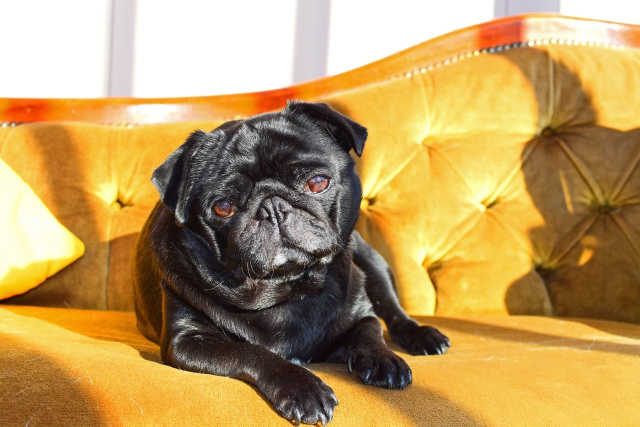 Beautiful stock photos of pugs, Animal Themes, Black Color, Day, Domestic Animals