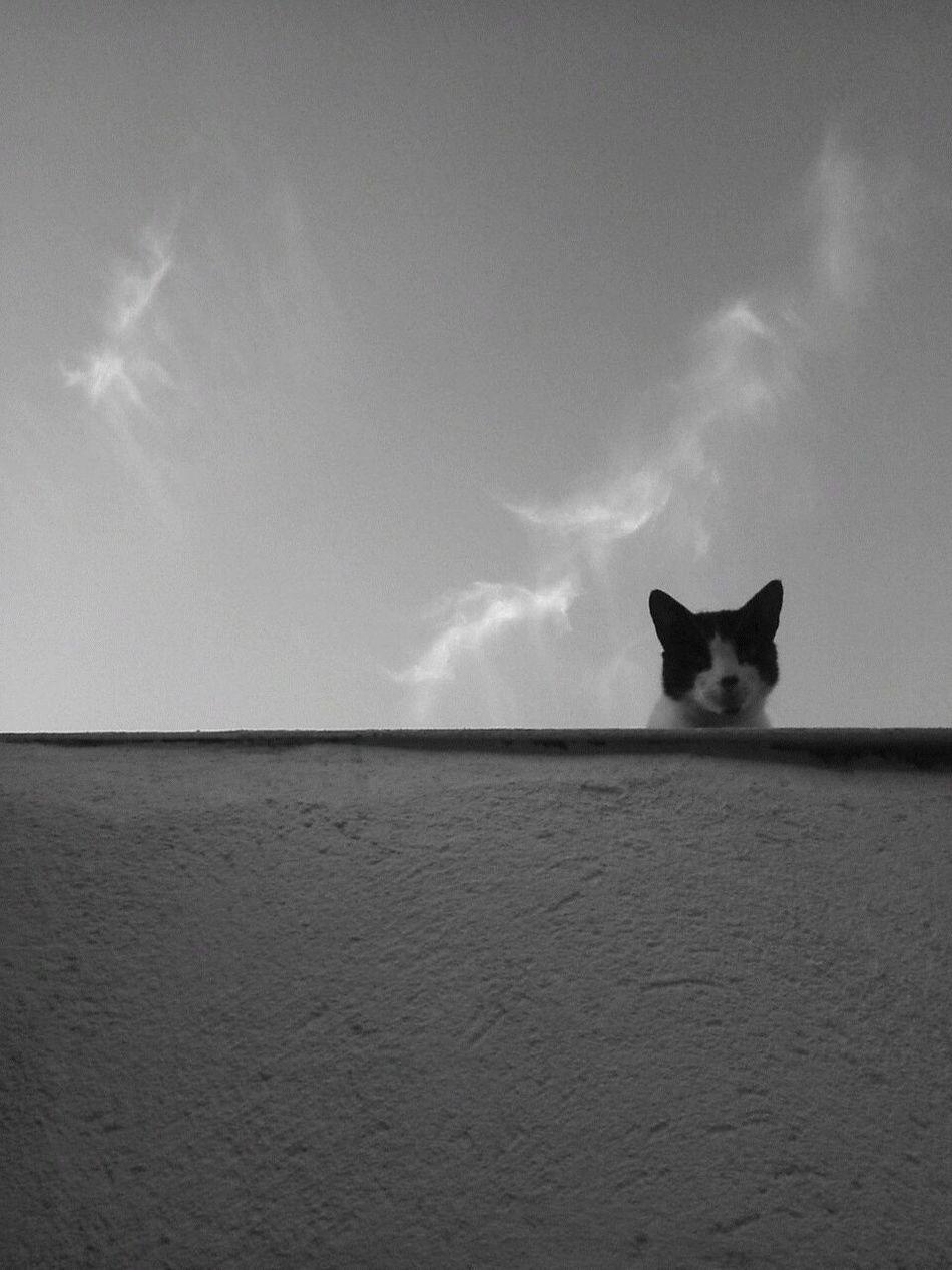 Pretoebranco Black & White Cat Gatos No Telhado Miauuu Gato Observando