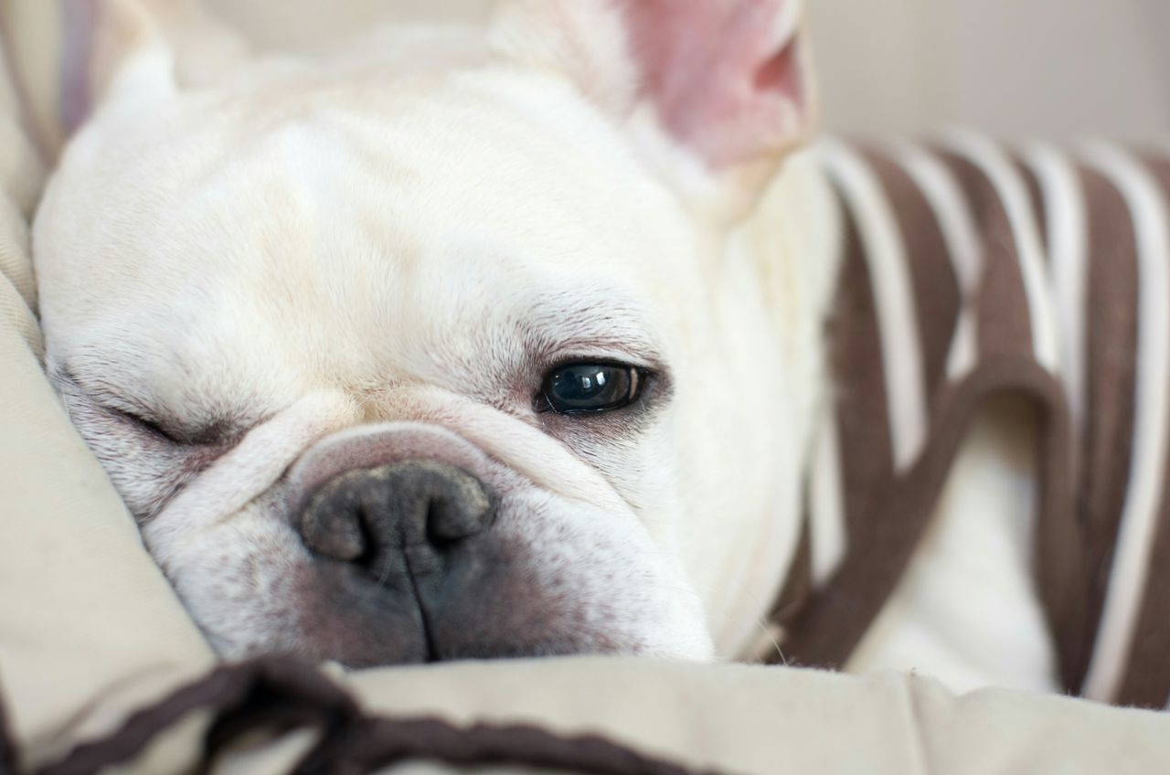 Beautiful stock photos of bulldog, Animal Themes, Close-Up, Day, Dog