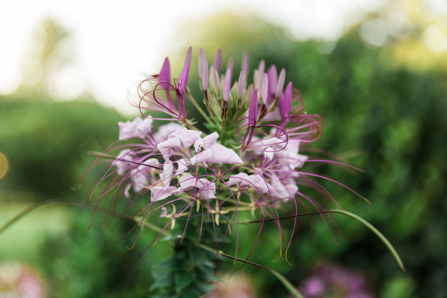 Purple flower Bright Growth Life Love Romantic The Week on EyeEm Blooming Bokeh Cleome Close-up Color Day Flower Garden Growth Nature No People Outdoors Plant Pretty Purple Soft Focus Spring Springtime Weed